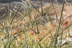 cỏ mần trầu